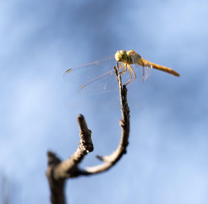 Libelle auf einem Hintergrund des blauen Himmels lizenzfreie stockbilder