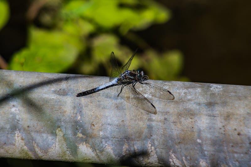 Libelle auf einem Rohr 2 lizenzfreie stockbilder