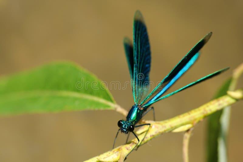 Libelle auf einem Zweig, der sich vorbereitet zu fliegen stockfotografie