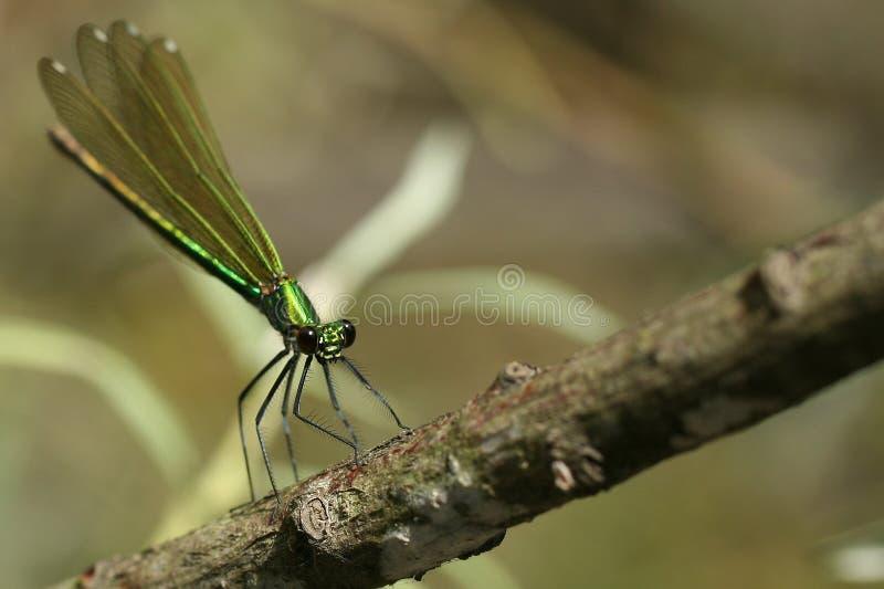 Libelle auf einem Zweig, der sich vorbereitet zu fliegen stockbild
