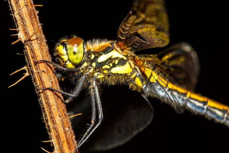 Libelle auf einer Betriebsnahaufnahme (Keeled-Abstreicheisen) lizenzfreie stockfotos