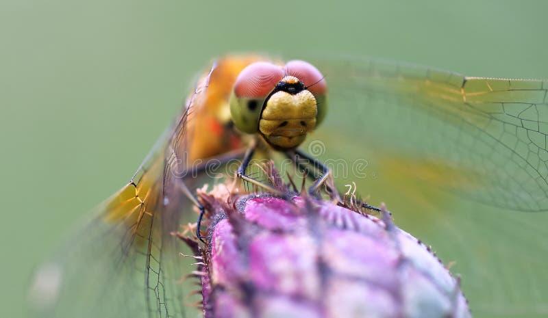 Libelle auf einer Blume lizenzfreies stockbild