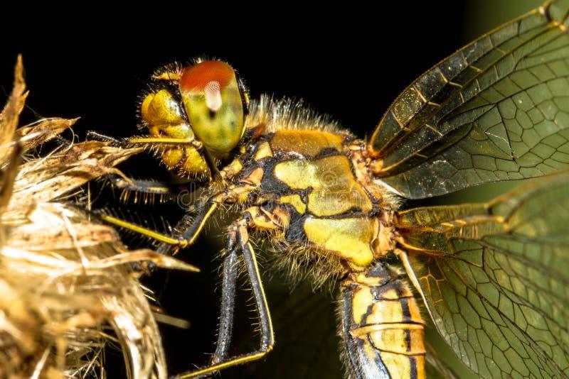 Libelle auf einer Blumennahaufnahme (Keeled-Abstreicheisen) stockfotografie
