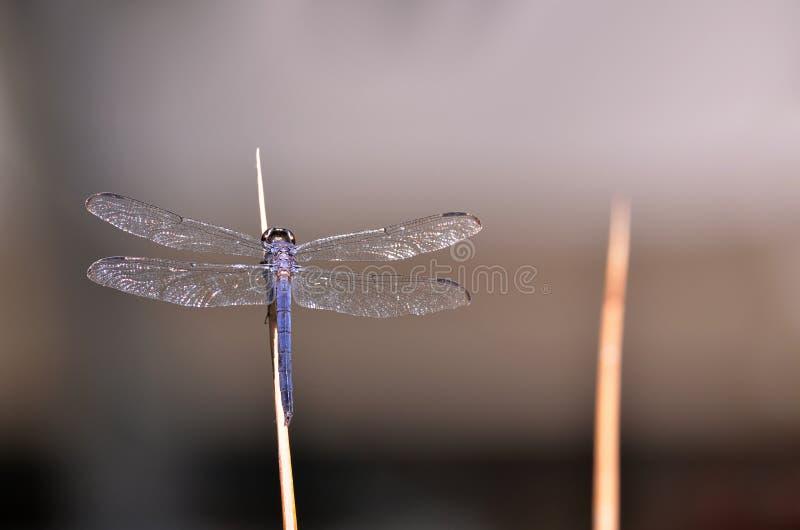 Libelle auf Garten-Schilf stockbild