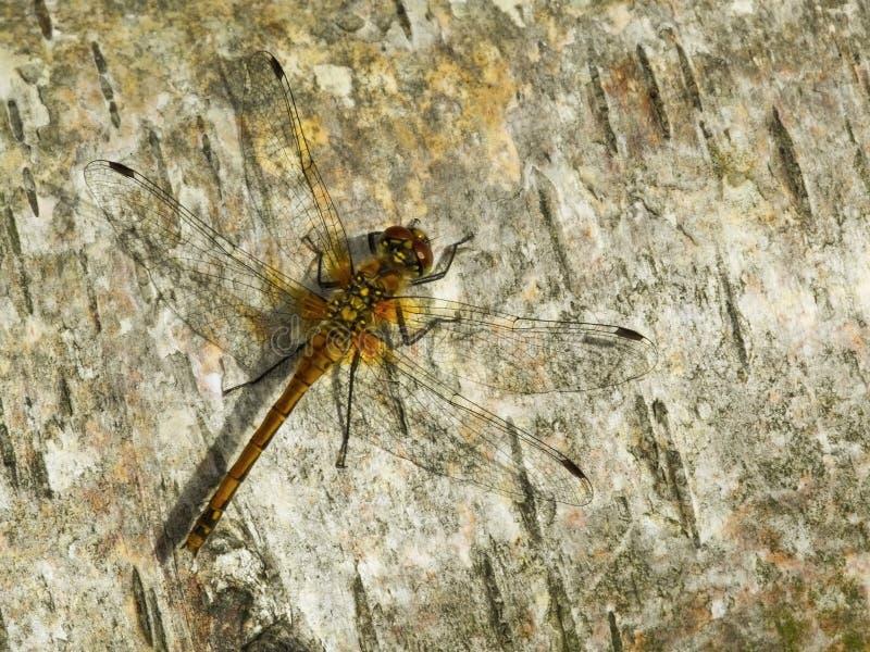 Libelle auf Holz stockfoto
