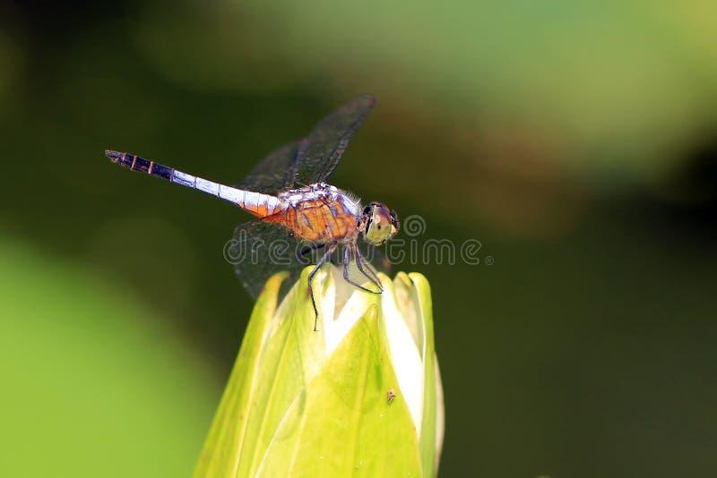 Libelle auf schöner Lotosblume stockbilder