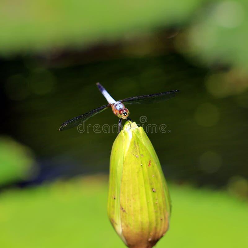 Libelle auf schöner Lotosblume lizenzfreie stockfotografie