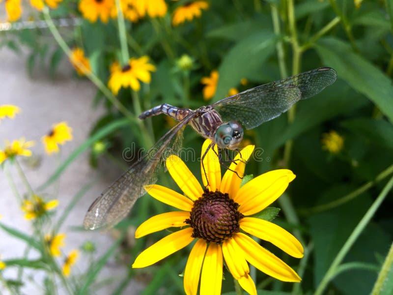 Libelle auf Schwarzes gemusterter Susan stockbilder