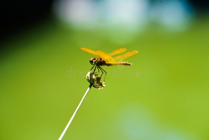 Libelle auf Trockenblume mit diagonalem Stamm und grünem Hintergrund lizenzfreie stockfotografie