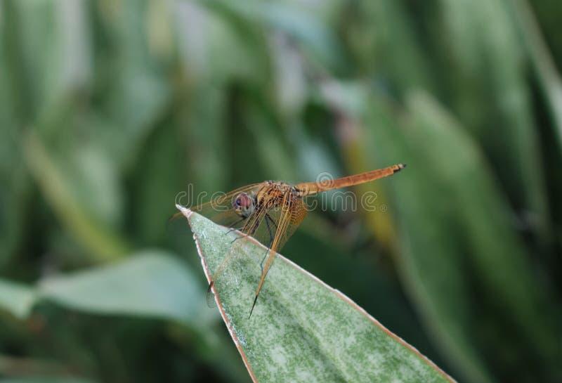 Libelle am Blatt stockbilder