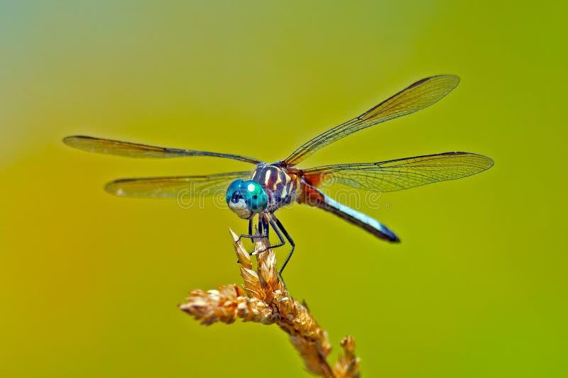 Libelle-Blau Dasher lizenzfreies stockbild