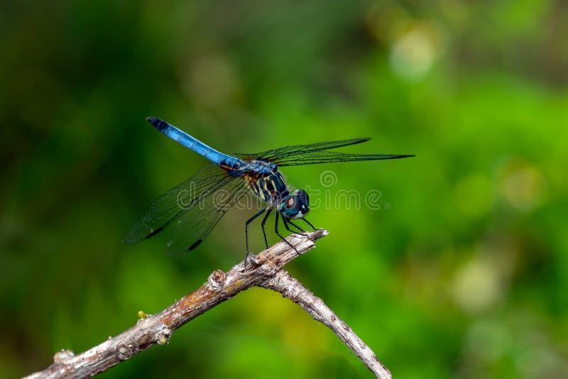 Libelle - blaues dasher (Pachydiplax-longipennis) stockbilder