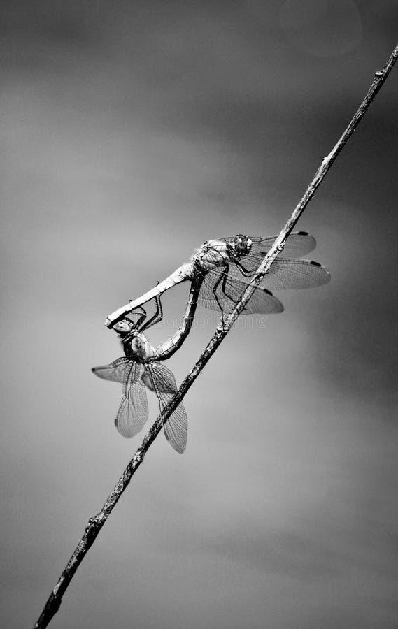Libelle, Damselfly, Insekten stockfotografie