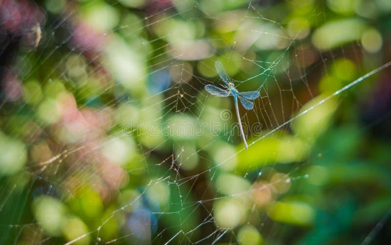 Libelle in den Netzen einer Spinne stockfotos