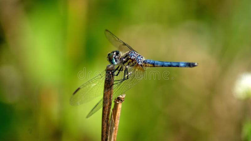 Libelle in den Sumpfgebieten lizenzfreies stockbild