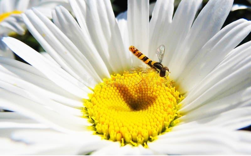 Libelle in der Kamille stockbilder