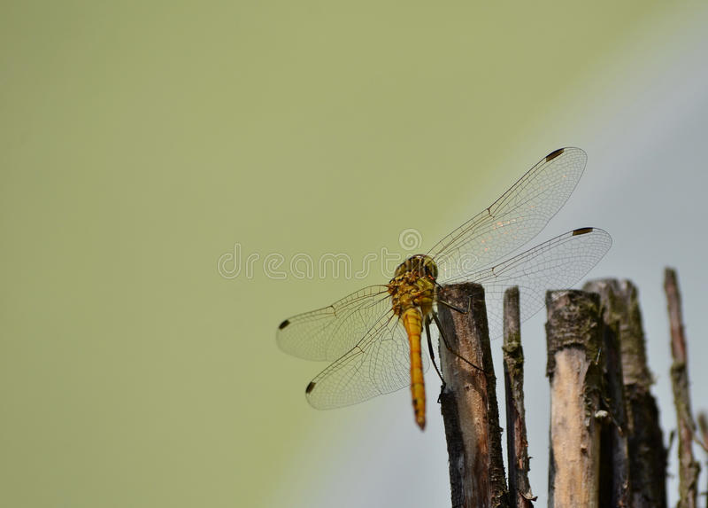 Libelle in der Tarnung auf Holz lizenzfreies stockbild