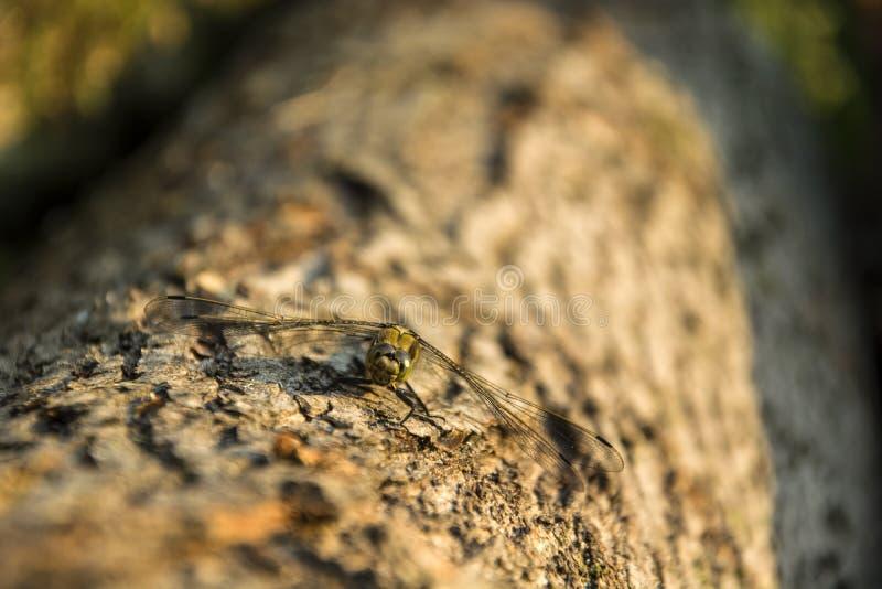 Libelle, die auf einem Baumstamm sitzt lizenzfreies stockfoto