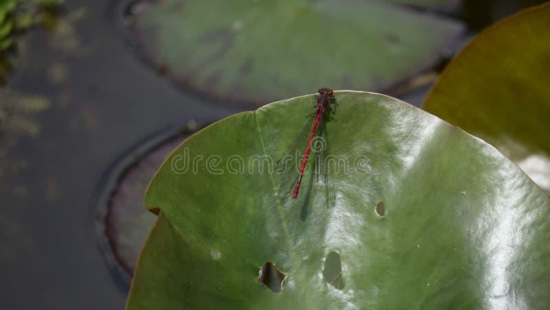 Libelle, die auf einem Urlaub sitzt stockbilder