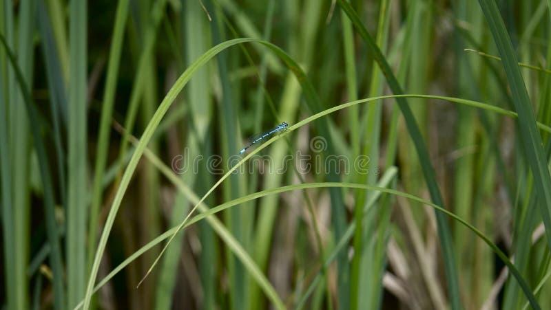 Libelle, die auf einem Urlaub sitzt lizenzfreie stockfotografie