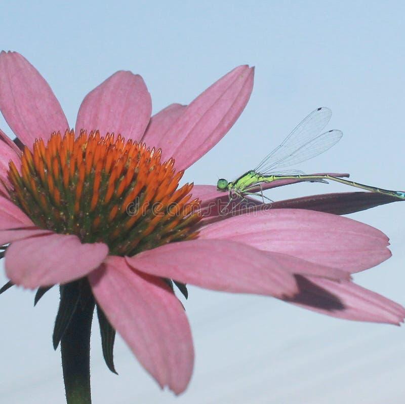 Libelle, die auf einer rosa Blume stillsteht stockbilder