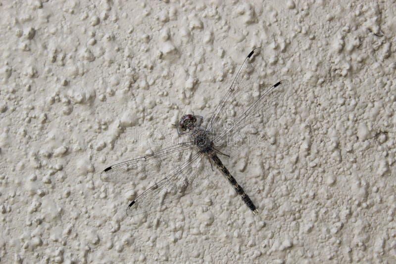 Libelle, die auf einer Wand stillsteht lizenzfreie stockfotografie