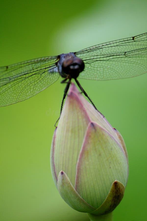 Libelle, die auf Lotos stillsteht lizenzfreies stockfoto