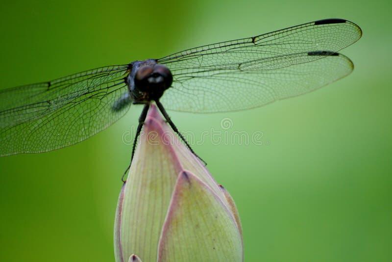 Libelle, die auf Lotos stillsteht lizenzfreie stockfotos