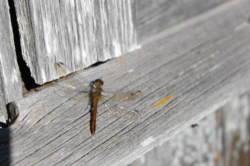 Libelle, die in der Sommersonne auf den Brettern sich aalt lizenzfreies stockbild