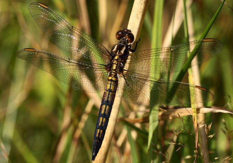 Libelle, die in der Sonne sich aalt lizenzfreie stockfotos
