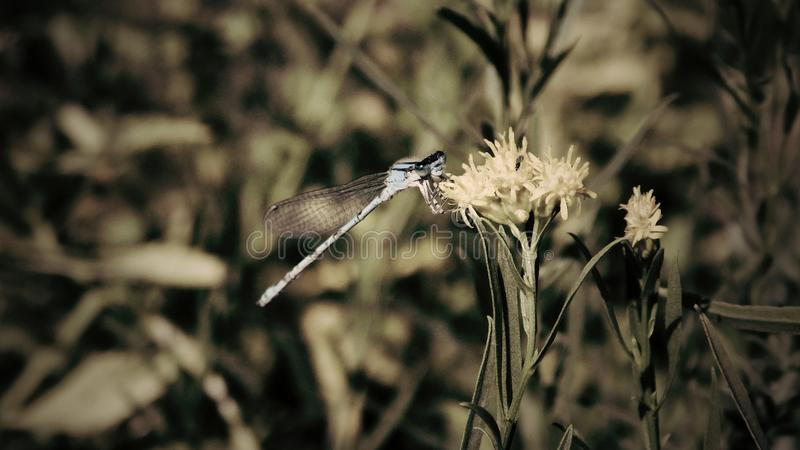 Libelle in einem Garten in Colorado stockfotografie