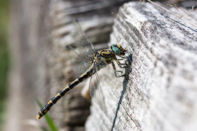 Libelle in einem Stamm lizenzfreies stockbild