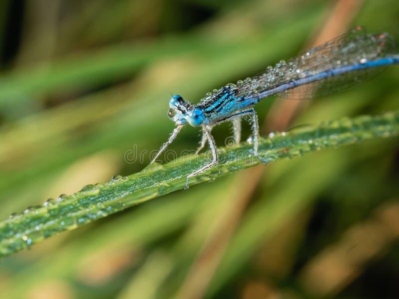 Libelle am frühen Morgen, die auf dem Gras stillsteht stockfotos