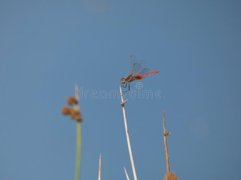 Libelle gehockt auf ein Schilf stockbilder