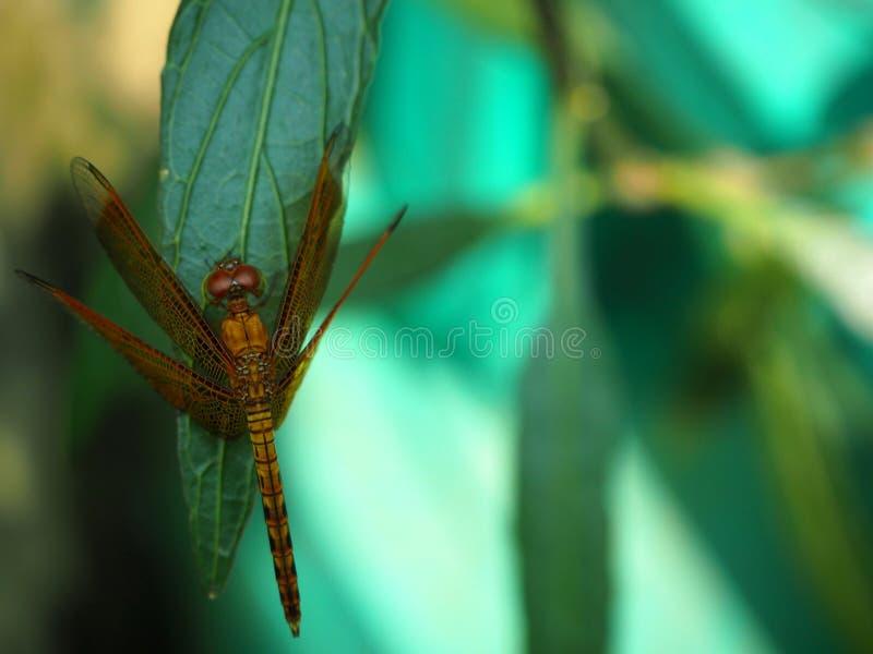 Libelle gehockt auf einem Blatt lizenzfreie stockfotos