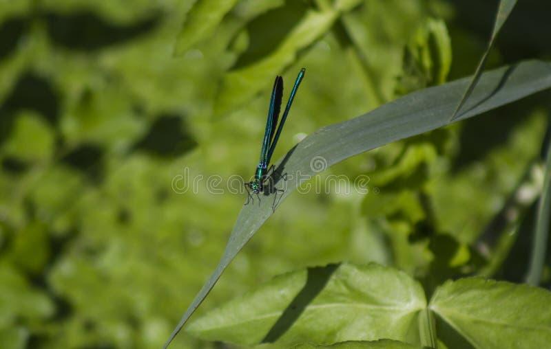 Libelle gehockt auf einem Flussblatt stockbild