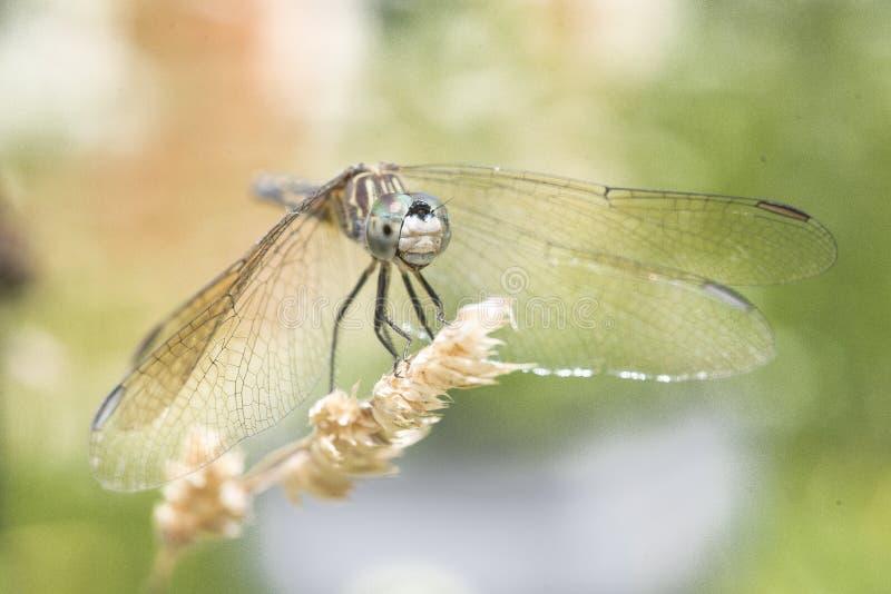 Libelle gehockt auf Gras stockbilder