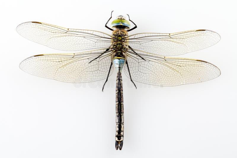 Libelle getrennt lizenzfreies stockfoto