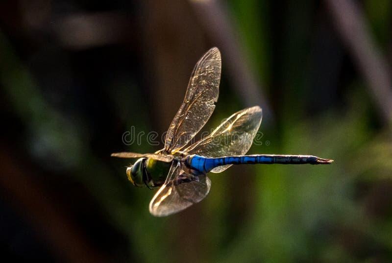 Libelle im Flug stockfotografie