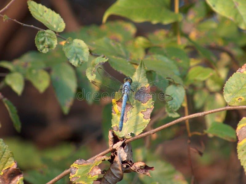 Libelle im Sumpf stockbilder