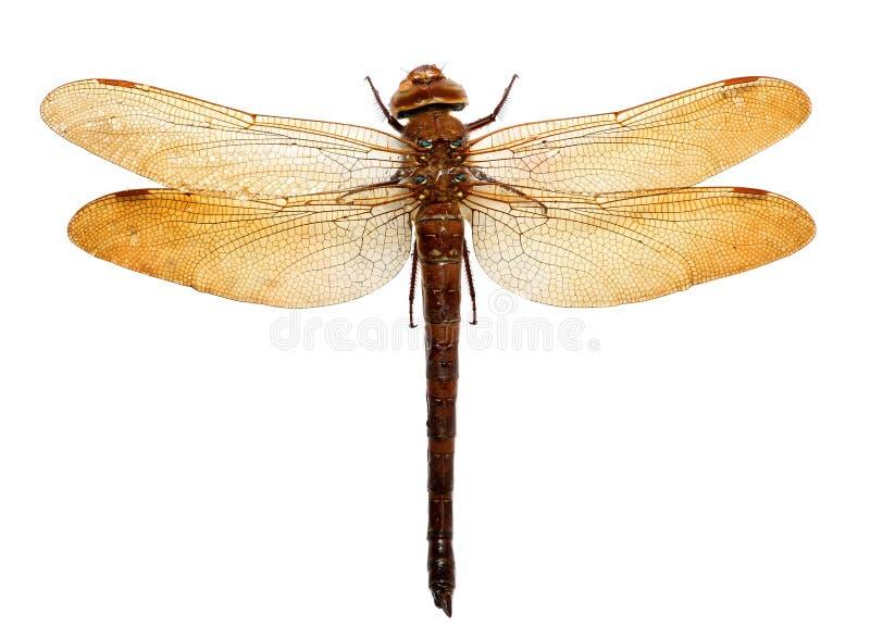 Libelle lokalisiert auf weißem Hintergrund lizenzfreie stockfotos