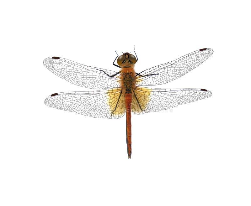 Libelle lokalisiert auf weißem Hintergrund stockbild