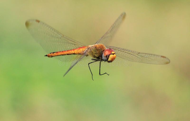 Libelle Manuvers in der Luft stockfoto
