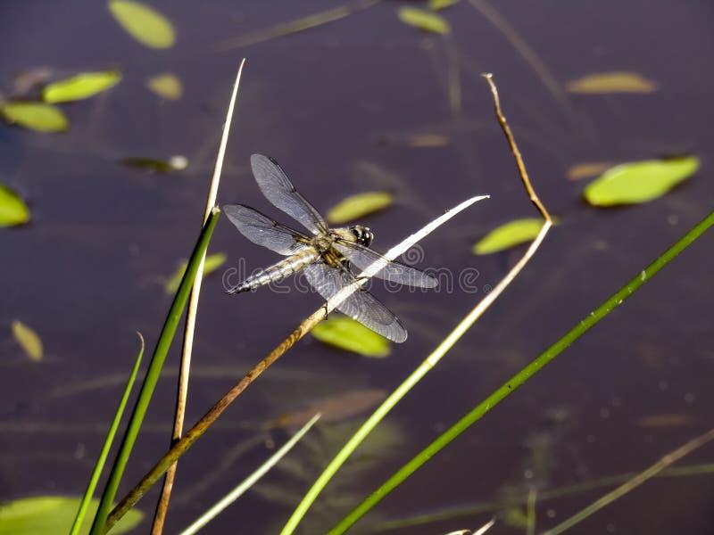 Libelle mit den weißen hellen Flügeln, die auf einem Grashalm sitzen Libellennahaufnahmefliegen über Wasserhintergrund lizenzfreie stockfotos