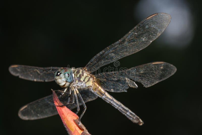 Libelle mit heftigem Flügel stockbilder