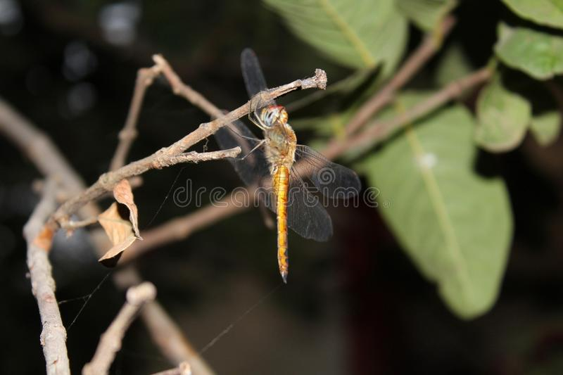 Libelle sitting†‹auf einem Guavenbaum stockfotografie