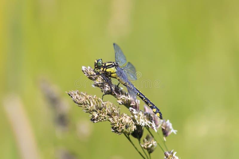 Libelle sitzt auf einem Gras auf einer Wiese an einem sonnigen Sommertag lizenzfreie stockfotos