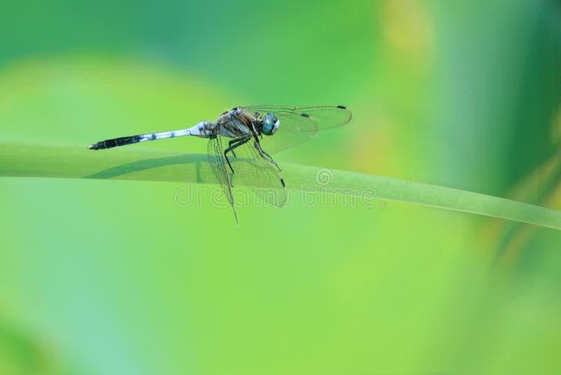 Libelle und Blatt lizenzfreie stockfotos