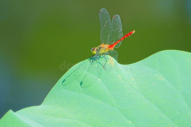 Libelle und Blatt stockfotografie