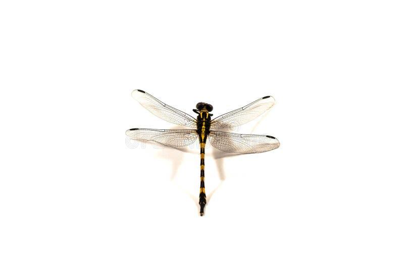 Libelle, weißer Hintergrund lizenzfreie stockfotos